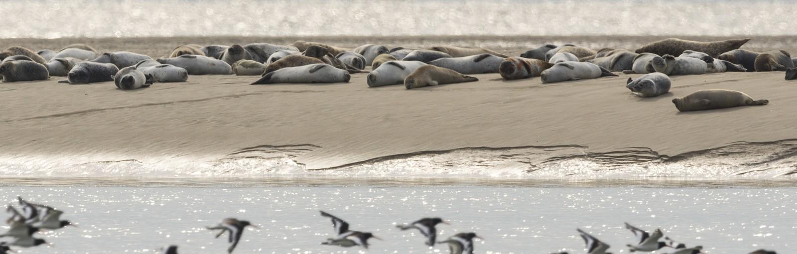 Bahía de Somme - focas
