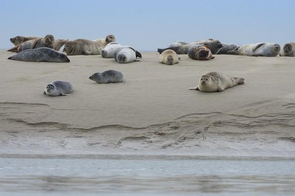 Bahía del Somme - focas - Crotoy - Hourdel